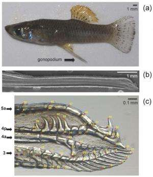 Mosquitofish Genital Shape Linked to Presence of Predators