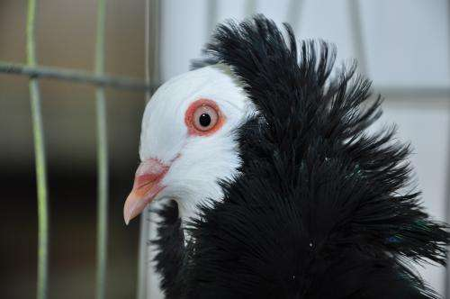 Mutant gene gives pigeons fancy hairdos