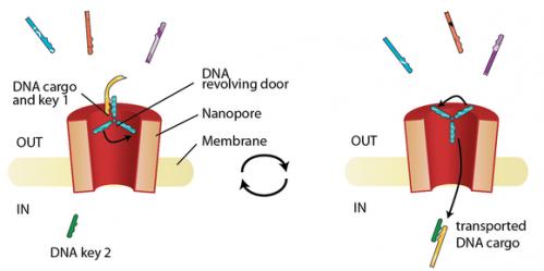 Nanopore opens new cellular doorway for drug transport
