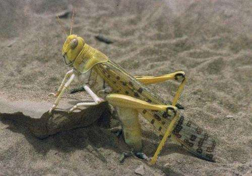 Nanoscale 'tsunami' helps locusts tune in