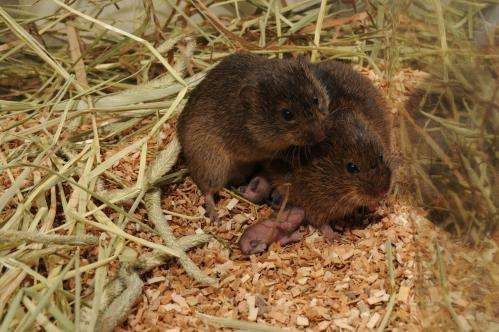 Researchers find epigenetic factor in monogamy for voles
