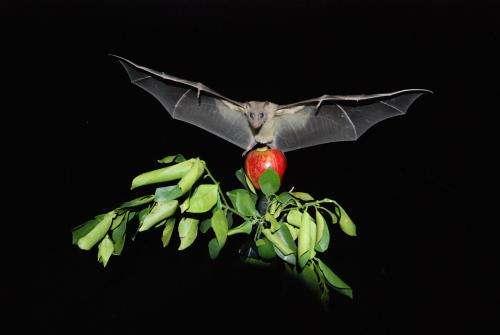 Neural activity in bats measured in-flight