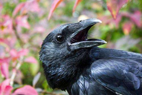 Neurobiologists investigate neuronal basis of crows' intelligence