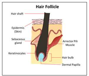 new 3d hair follicle model to accelerate cure for baldness