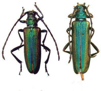 New beautifully colored long-horned beetle from Yunnan, China