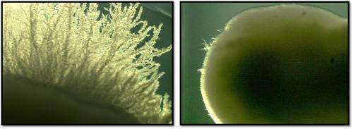 New compound prevents first steps of fungal infection