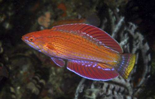 New flasher wrasse species discovered in indonesia for New fish discovered