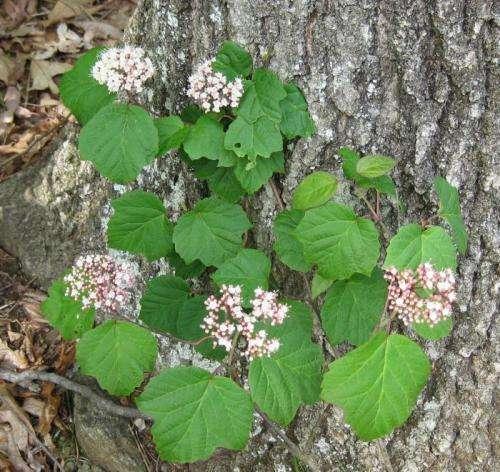 New native shrubs show promise for landscape, nursery industries