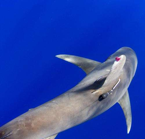 New research on migratory behavior of oceanic whitetip sharks can help shape conservation strategies