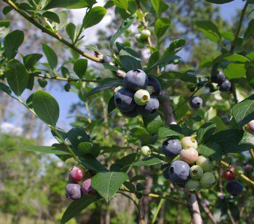 New study informs blueberry flavor selection