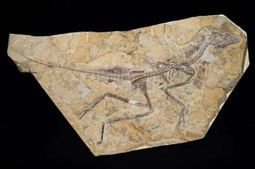 "New study restores famed fossil to ""bird"" branch"