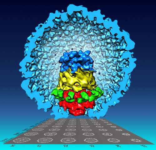 New visualization reveals virus particles have more individuality than thought
