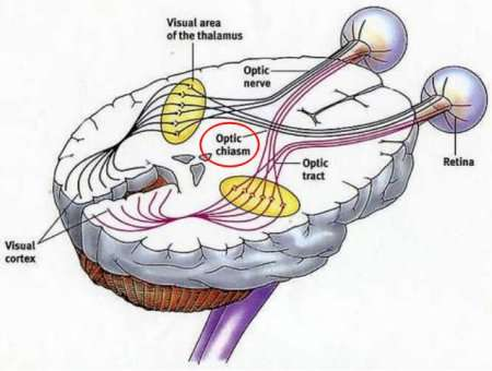 Optic Chiasm