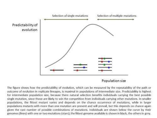 Optimal population size allows maximum predictability of evolution