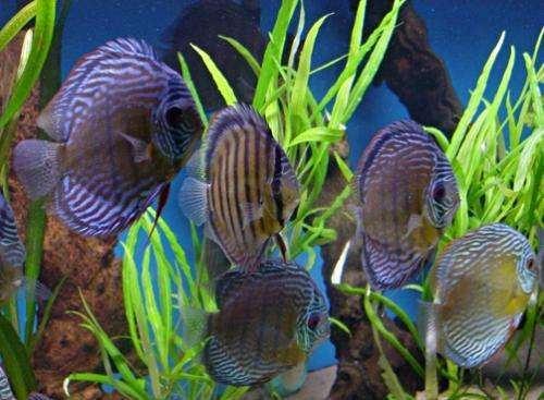 Ornamental fish industry faces increasing problems with antibiotic resistance