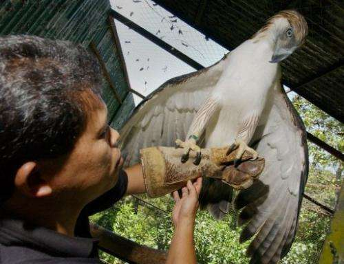 Pag-asa, the first Philippine eagle bred in captivity, is pictured on April 23, 2004 at the Philippine Eagle Foundation