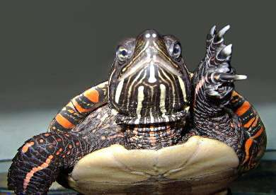 researchers predict painted turtles face extinction due to global