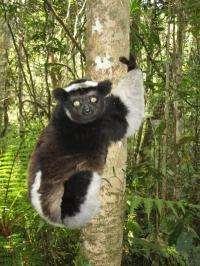 Parasites of Madagascar's lemurs expanding with climate change
