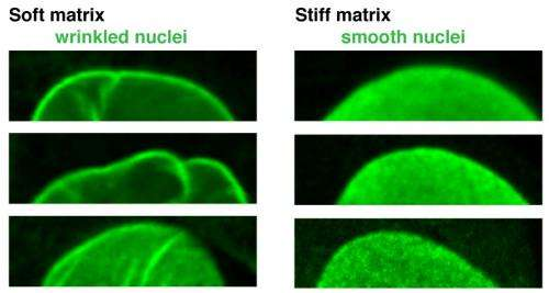 Penn study: Protein that protects nucleus also regulates stem cell differentiation
