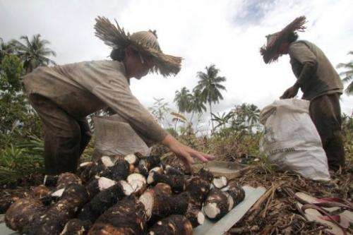 People gather cassava in Indonesia's North Pagai on November 5, 2010