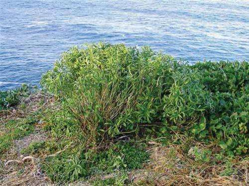 Perching on the cliffs of New Zealand, endemic Lepidium flora faces extinction threats