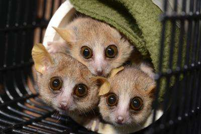 Personality test finds some mouse lemurs shy, others bold