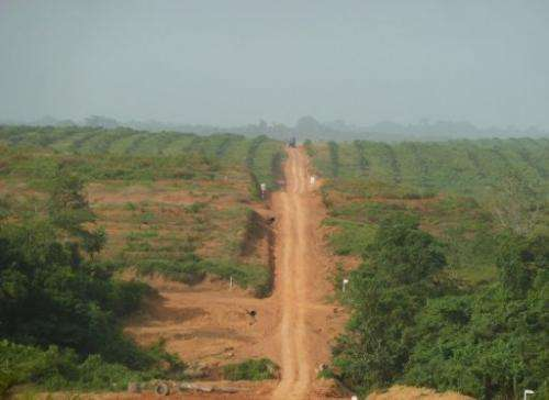 Picture taken on December 10, 2012 shows palm trees grown at the Sime Darby concession in northwestern Liberia