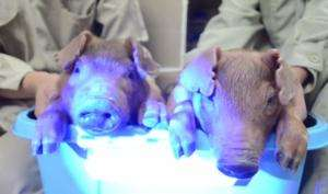 Piglets glow green, thanks to cytoplasmic injection technique