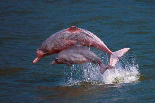 161c54ddc6 Pink dolphins playing in the waters off Lantau in Hong Kong, in a photo  provided by the Hong Kong Dolphin Conservation Society.
