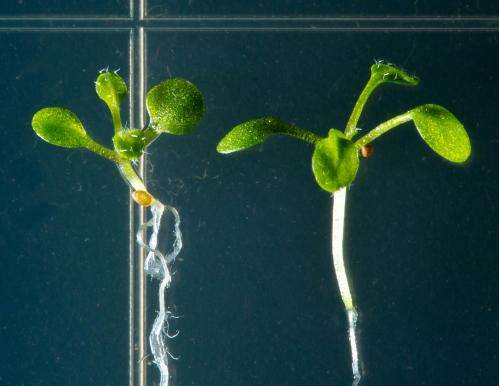 Plants cut the mustard for basic discoveries in metabolism