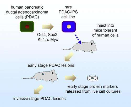 Pluripotent cells from pancreatic cancer cells first human model of cancer's progression