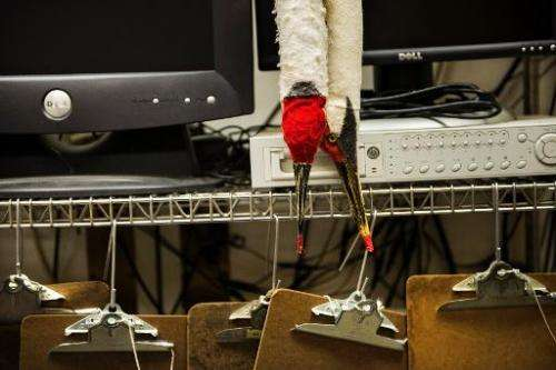 Puppets used for interacting with captive whooping cranes are seen at the US Geological Survey's Patuxent Wildlife Research Cent