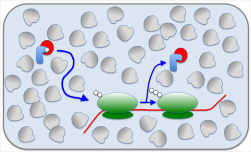 Pushing and shoving – a cost factor in protein synthesis