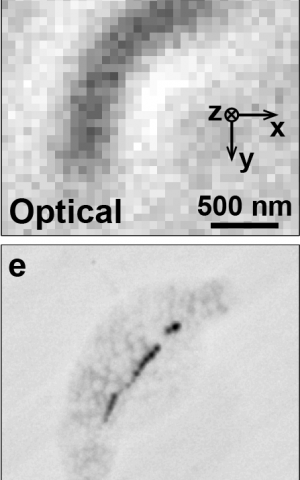Quantum-assisted nano-imaging of living organism is a first