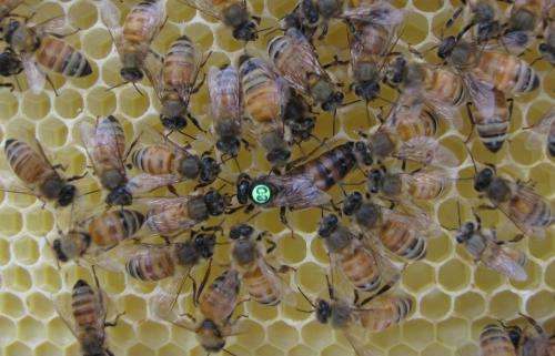 Queen bee's honesty is the best policy for reproduction signals