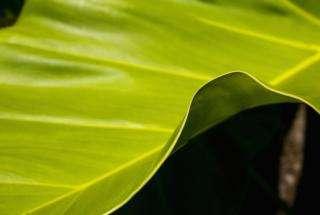 Rare tree provides key to greener chemistry