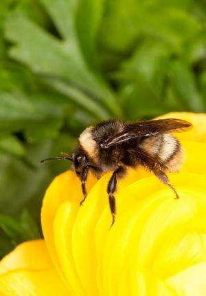 Rare western bumblebee creates a buzz on the Front Range