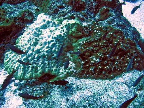 Related coral species differ in how they survive climate change effects