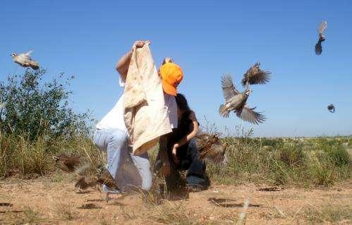 Reversing the decline of Texas quails