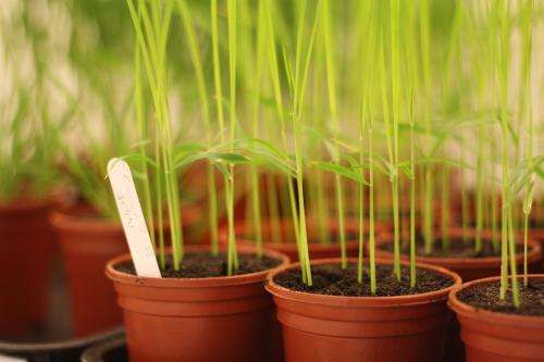 Rice blast research reveals details on how a fungus invades plants