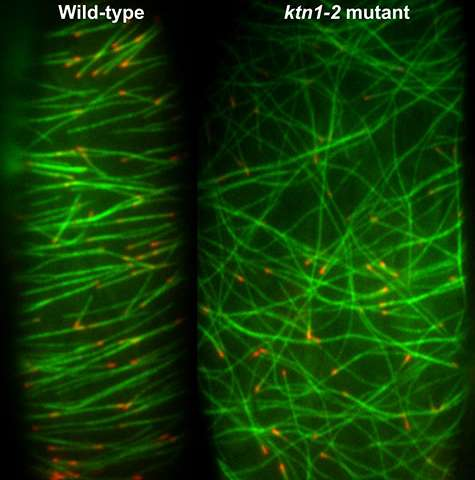 Samurai sword protein makes strategic cuts in cell skeletons