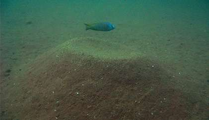 Sandcastle-building fish offer evolution clue