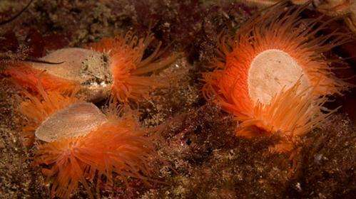 Scapa Flow reveals rare sighting of Flame Shell molluscs