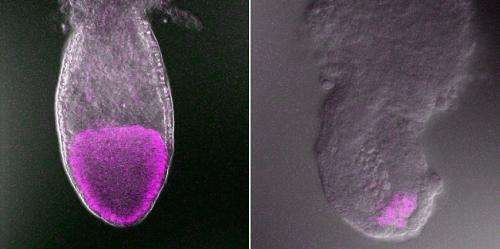 Secrets of a t-haplotype gene revealed: Decade-long hunt turns up key gene involved in early mammalian development