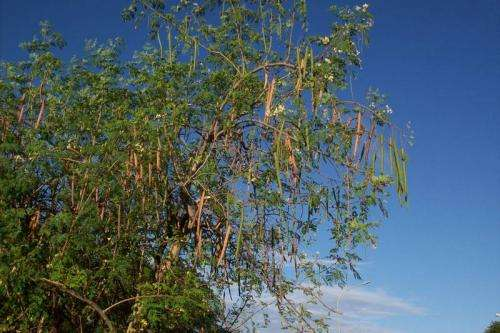 Seeds from Moringa oleifera trees used to purify water