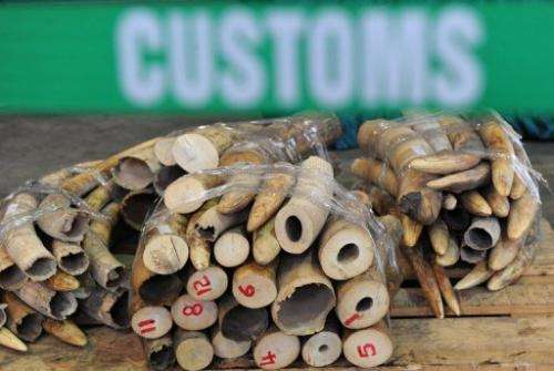 Seized ivory tusks are displayed at a Hong Kong Customs press conference on January 4, 2013