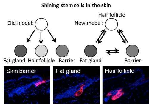 Shining stem cells reveals how our skin is maintained