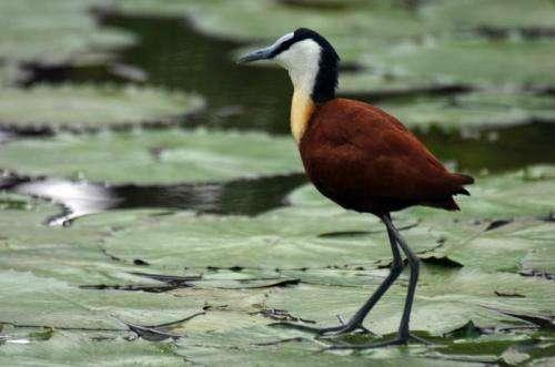 Shorebirds prefer a good body to a large brain