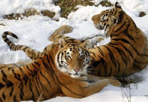 Siberian tigers in a zoo in Nanjing, east China's Jiangsu province, February 19, 2013