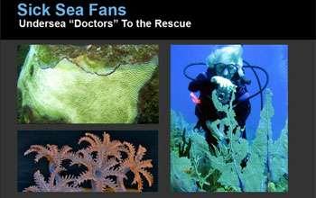 "Sick Sea Fans: Undersea ""Doctors"" to the Rescue"